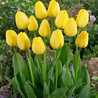 củ tulip của vobich8 tại Đà Nẵng - 2073394
