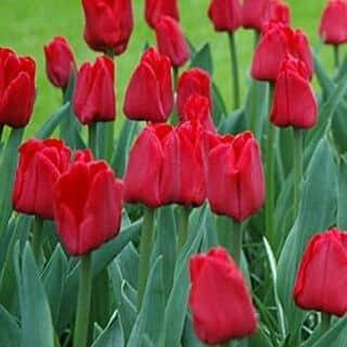 củ tulip của vobich8 tại 124 Bạch Đằng, Quận Hải Châu, Đà Nẵng - 2073209