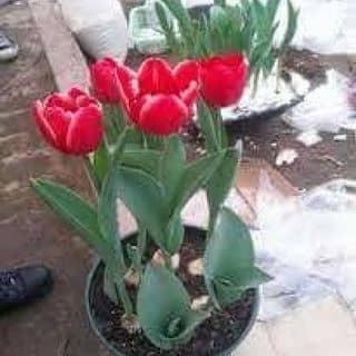 Củ tuylip 7 màu của moclan19 tại Đắk Nông - 2131446