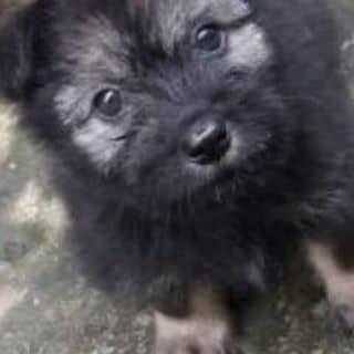 Cún Nhật lông xù của nguyenphat161 tại Vĩnh Long - 1453111