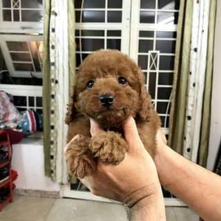 Cún Poodle Thái của binbon_dogshop tại Hồ Chí Minh - 3213015