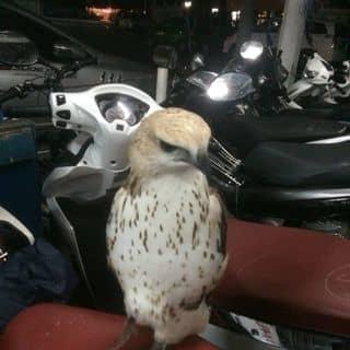 Đại bàng ưng  của bachvan1993 tại Ngã 6 Chùa Bà, Thị Xã Thủ Dầu Một, Bình Dương - 1073747