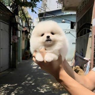 Đàn POM&POODLE siêu cute của binbon_dogshop tại Hồ Chí Minh - 3181628