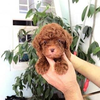 Đàn Poodle Thái giá tốt của binbon_dogshop tại Hồ Chí Minh - 3189105