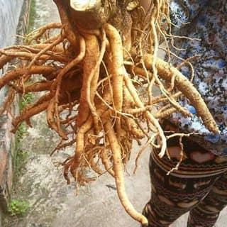 Đinh lăng lá nếp của phamcuong163 tại Hà Nam - 2978411