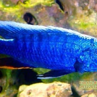 Electric Blue Ahli của ktrinhkien1 tại Hồ Chí Minh - 2110142