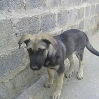 Em chó lai béc của nguyendinhhung13 tại Sơn La - 2252068