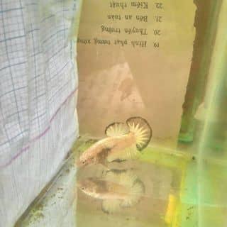 Fancy mable junior của dangkhoale17774 tại Đoàn Văn Bơ, Quận 4, Hồ Chí Minh - 2889163