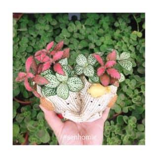 Fittonia của senhomie tại 373 Lý Thường Kiệt, phường 8, Quận Tân Bình, Hồ Chí Minh - 2024729