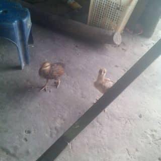 Ga của daicatho2 tại Shop online, Huyện Dương Minh Châu, Tây Ninh - 2268686