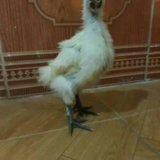 gà ác thuần chủng của dunghakb tại Thái Nguyên - 1630160