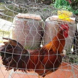 ga da của hop01237 tại Shop online, Huyện Phú Tân, Cà Mau - 2300433