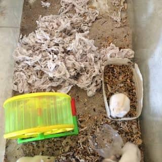 Hamster  của hotboycodontn94 tại Thái Nguyên - 2609875