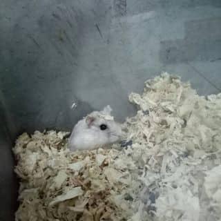 Hamster của hannhii1 tại Hồ Chí Minh - 2392766
