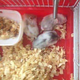 Hamster của jaynel tại Hồ Chí Minh - 2594005
