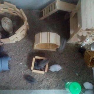 Hamster của laian622004 tại Bà Rịa - Vũng Tàu - 1183952