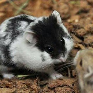 Hamster campell 🌸 của minhanhhuynh1 tại Đồng Tháp - 3624876