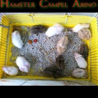 Hamster Campell Abino của loitu5 tại Tiền Giang - 3679159