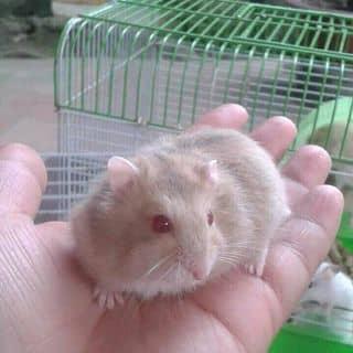 Hamster trà sữa mắt đỏ của niemhoai5 tại Nghệ An - 2526779