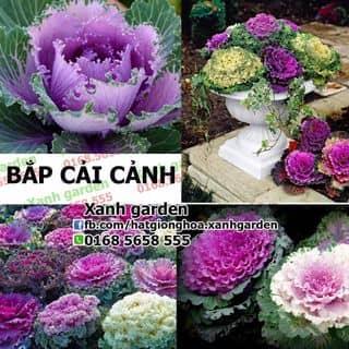 Hạt giống Bắp cải cảnh của xanhgarden tại Hồ Chí Minh - 2915921