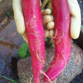 Hạt giống củ cải đỏ của tranchinh47 tại Hồ Chí Minh - 3283992