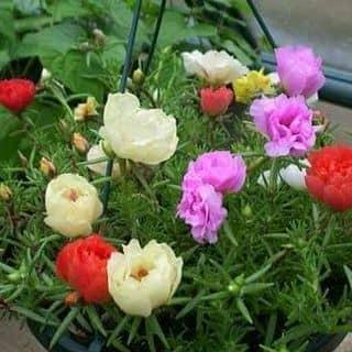 Hạt giống hoa 10giờ của trantien289 tại Vĩnh Long - 2250848