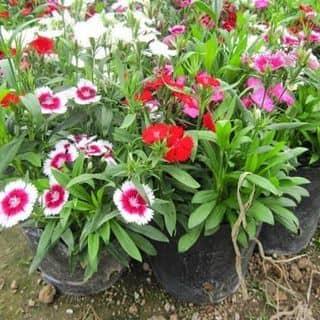Hạt giống hoa cẩm chướng của ngoctoan30 tại Hải Phòng - 2959644