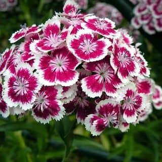 Hạt giống hoa cẩm chướng của ngtrphuonganh tại Hà Nam - 3215020