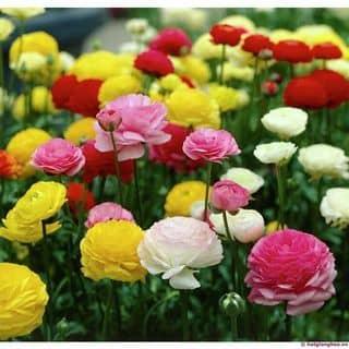 Hạt giống hoa hồng ritabu của shophatgionv tại Hà Giang - 2993976