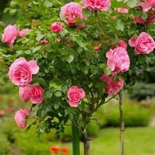 💖Hạt giống hoa thu hải đường💖   của thomdinh2 tại Bắc Kạn - 3288048