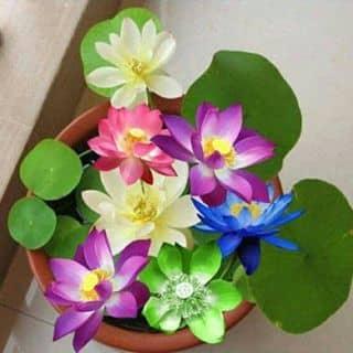 Hạt giống sen nhật mini của banlam tại Bắc Ninh - 2853946