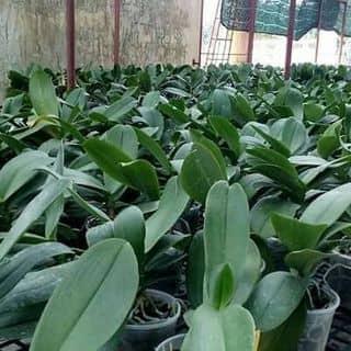 Hồ điệp cây đã cắt hoa giá tốt của hovu25 tại Quảng Ngãi - 2707954