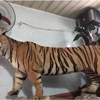 Hổ lào của nguyenquangdrbaoden tại Hồ Chí Minh - 2509940