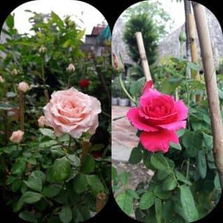 Hoa hồng của mydungtran4 tại Vĩnh Long - 2493972