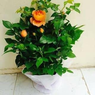 Hoa hồng của hienkathy tại Shop online, Huyện Nghi Xuân, Hà Tĩnh - 1274783