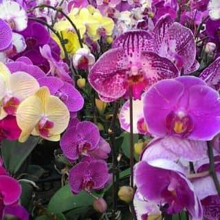Hoa lan đà lạt của nccc tại Bình Phước - 1257336