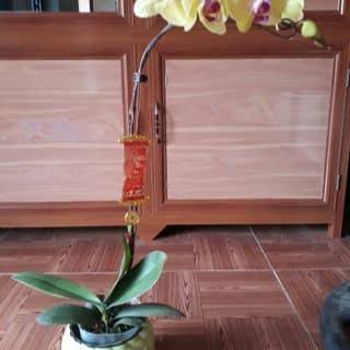 Hoa lan hồ điệp chơi tết của muilee tại Vĩnh Phúc - 2491558