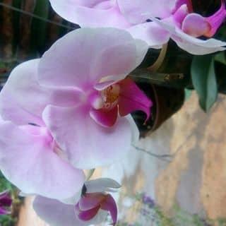 Hoa lan trắng hồng của nhocone tại Đắk Lắk - 1123386