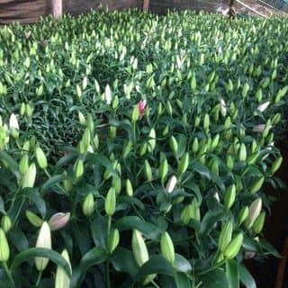 Hoa ly hồng giống hà lan của wolfaccessories tại Hồ Chí Minh - 2484908