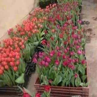 Hoa tulip của phamthihongnhung2 tại Gia Lai - 2463833