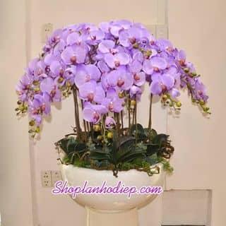 hoa voan lan của kimoanh1703 tại Bà Rịa - Vũng Tàu - 1781628