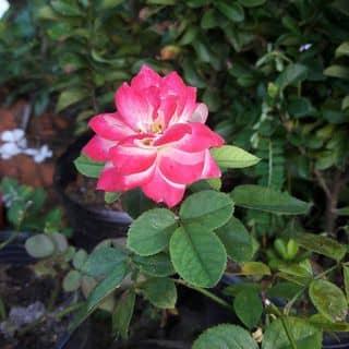 Hồng đổi màu của mydungtran4 tại Vĩnh Long - 2139957