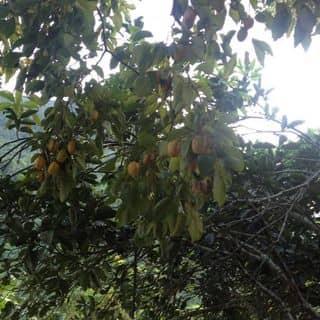 hồng ngâm không hạt .  của thaoduocsach87 tại Phố Cổ Đồng Văn, Huyện Đồng Văn, Hà Giang - 1121593