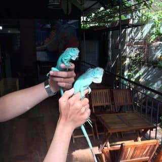 Iguana Green của tobaccosweetstore tại Cần Thơ - 2165155