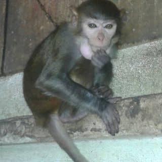 Khỉ nuôi nha. của bethang6 tại Đồng Tháp - 1825245