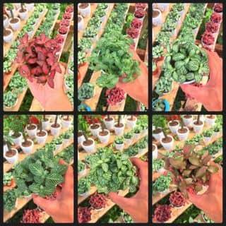 Lá May Mắn (Fittonia) của nguyenminhnhut00 tại Kiên Giang - 2424273