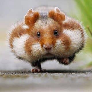 lưu giữ hamster của hamster1 tại Hồ Chí Minh - 2909967