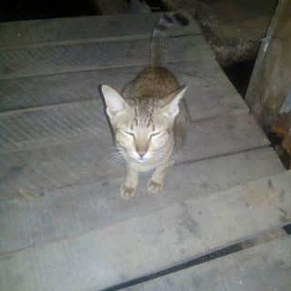 mèo của huurongxanh tại 366 Nguyễn Trãi, Thành Phố Cà Mau, Cà Mau - 2393983