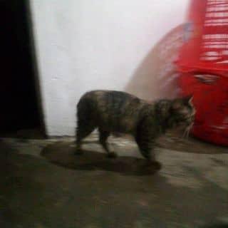 Mèo của ngoclan2594 tại Điện Biên - 2402188