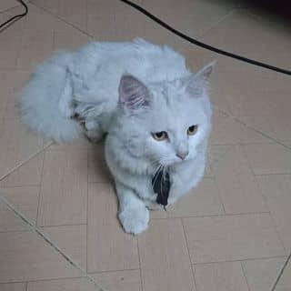 Mèo ALN của tranhoa21 tại Hải Phòng - 2806818